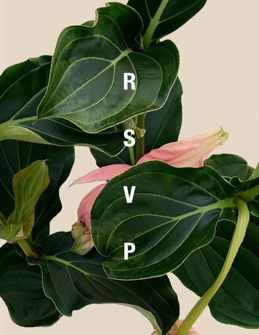 Medinilla - RSVP